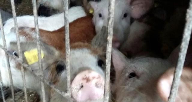 Vrei porc romanesc crescut natural de Craciun?